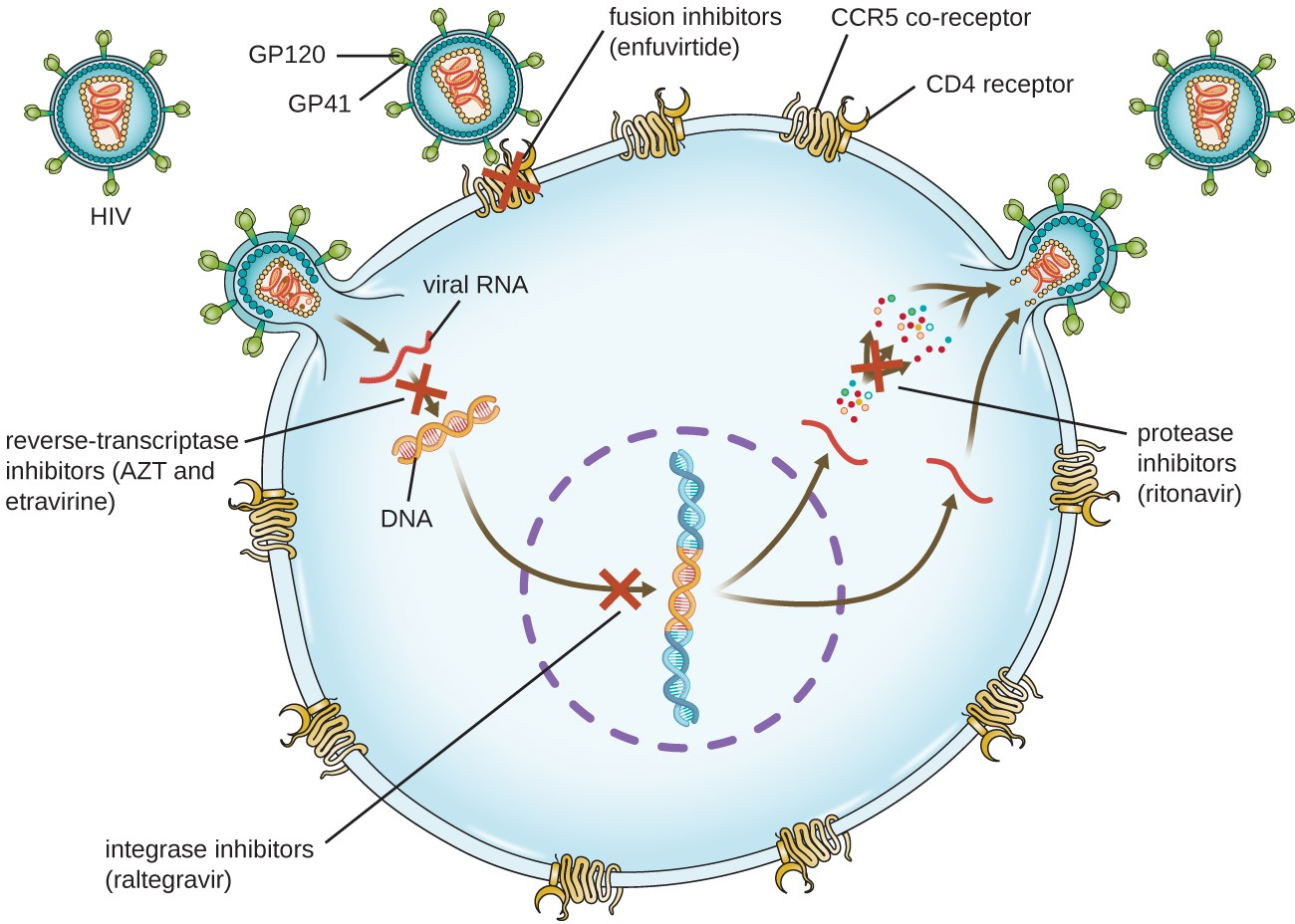 Diagram showing HIV infection and locations where drugs can stop the infection. GP120 and G(42 are proteins that are on the surface of the virus and bind to CD4 receptor and CCR5. Enfuvirtide is a fusion inhibitor that blocks this process. When the virus enters, it produces DNA from RNA, this can be blocked by AZT and etravirine which are reverse-transcriptase inhibitors. Next, the viral DNA integrates into the host DNA. Raltegravir is an integrase inhibitor and blocks this step. Finally the virus is rebuild. Ritonavir is a protease inhibitor and blocks this step.