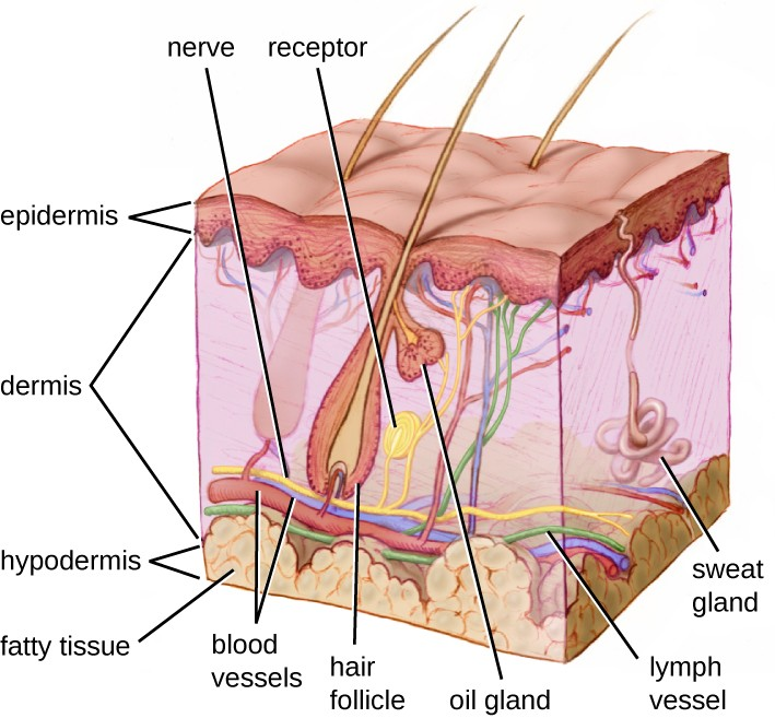 A diagram of a section of skin. The bottom layer is the hypodermis and is mostly made up of large circular cells (fatty tissue). The next layer up, and the thickest layer is the dermis. At the bottom of the dermis are blood vessels, lymph vessels, and nerves, all of which run throughout the dermis. Sweat glands are coiled tubes that lead to the surface. Hair follicles are thick vase-shaped structures containing a hair; an oil gland is attached to the hair follicle. The top layer is the epidermis and is made of many layers of flat cells.