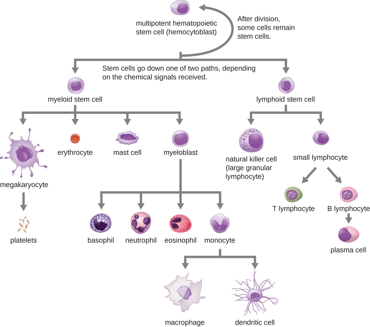 A flowchart showing progression of development for formed elements of blood. At the top is a multipotent hematopoietic stem cell (hemocytoblast). This cell divides and after division some of the new cells remain stem cells. Others go down one of two paths depending on the chemical signals received. One path begins with lymphoid stem cells which can either become natural killer cells (large granular lymphocytes) or small lymphocytes. The natural killer cell is a medium-large purple cell. Small lymphocytes can either become T lymphocytes or B lymphoctyes. The T and B lymphocytes are medium size cells with a large nucleus. B lymphocytes become plasma cells which are medium size cells with a large nucleus. The other option for the stem cell is to become a myeloid stem cell. Myeloid stem cells follow one of four paths. One path leads to megakaryocyte which leads to platelets. Platelets are small flecks. The second path leads to erythrocyte. Erythrocytes are small donut shaped red cells. The third path leads to mast cells. The fourth path leads to basophil, neutrophil, eosinophil, or monocyte. Basophils are medium cells with many dark purple spots. Neutrophils are medium pink cells with a multi-lobbed nucleus. Eosinophils are medium size cells with many pink spots. Monocytes lead to macrophages or dendritic cells. Macrophages are large irregularly shaped cells. Dendritic cells have longer tendons branching off of them.