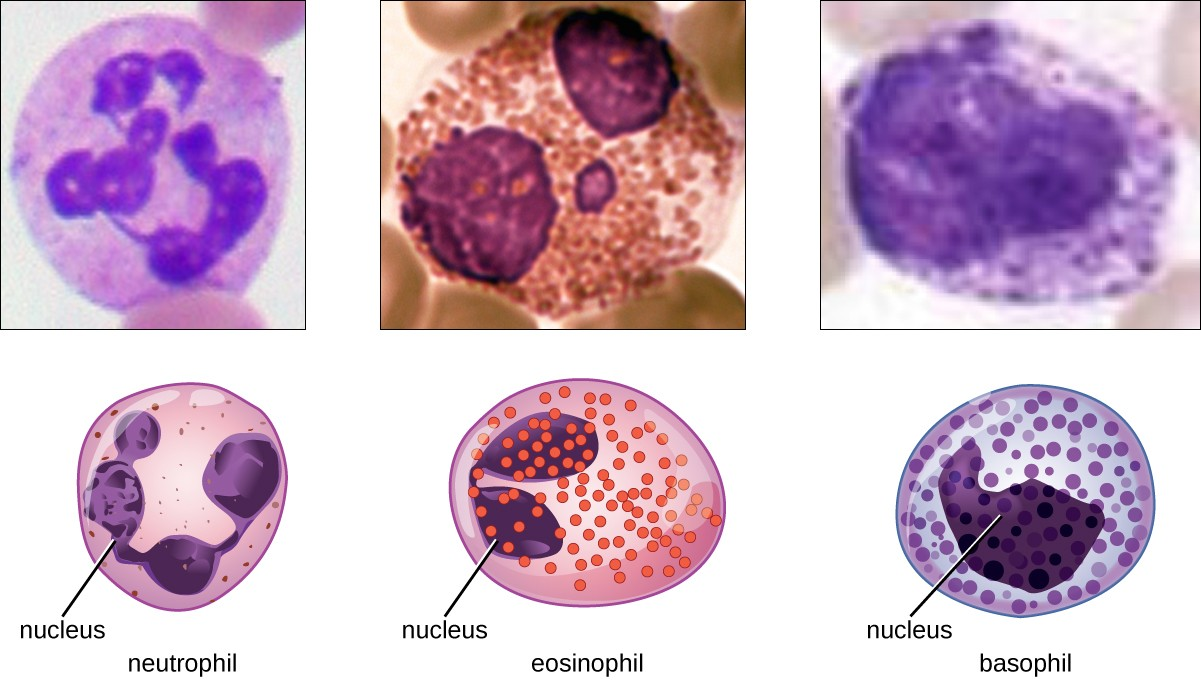 Neutrophils have a multi-lobed nucleus. Eosinophils have a two-lobed nucleus and distinct pink spots when stained. Basophils have a two-lobed nucleus and distinct purple spots when stained. Each type of granulocyte is illustrated with a micrograph above it.