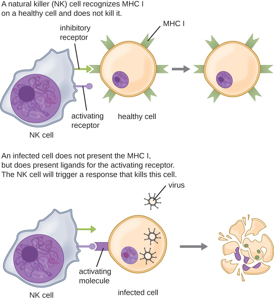 NK cells have both inhibitory and activating receptors. Normal cells have signals on their MHC molecules that bind to the inhibitory receptors; so the NK cell does not kill them. Cells that are infected with virus have ligands that bind to the activating receptor; this causes the NK cell to kill them.