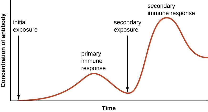 A graph with time on the X axis and concentration of antibody on the Y axis. The concentration is near 0 at the initial exposure and increases during the primary immune response. The concentration then drop back down but remains above the level at initial exposure. The secondary exposure increases the concentration of antibody to higher levels than the primary response. And even after dropping back down this count remains relatively high.