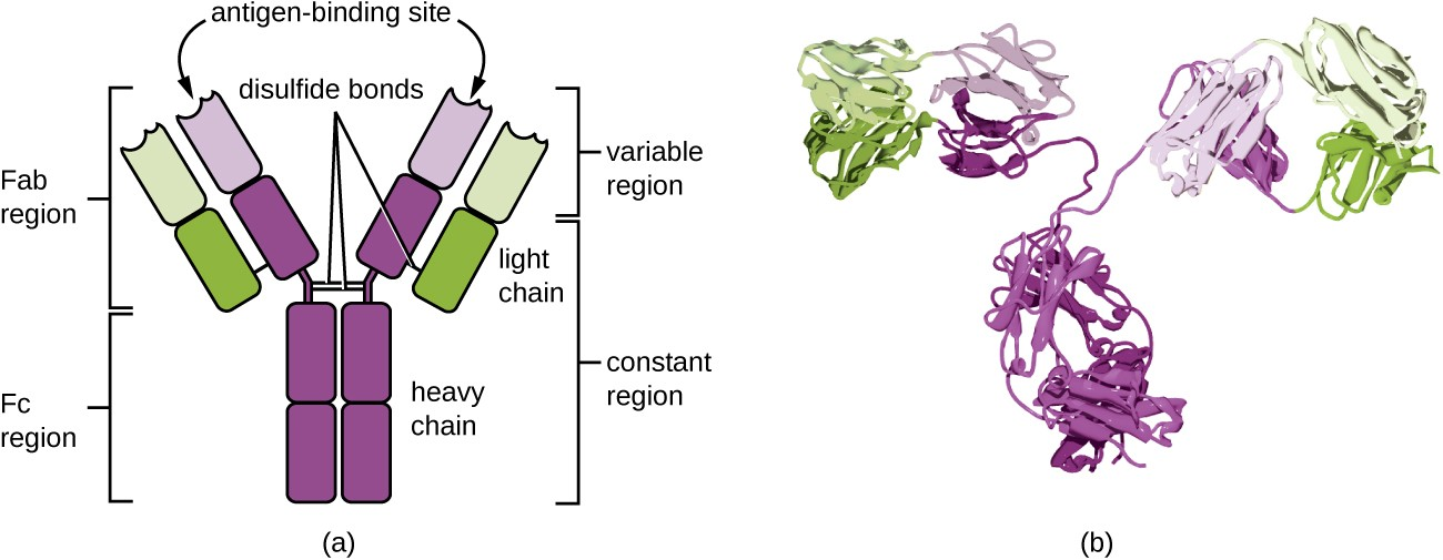 a) An antibody is a Y shape made of four strands. The two inner strands form the actual Y shape and are the heavy chains. The two light chains sit on the outsides of the top regions of the Y. The bottom portion of the Y (made of only heavy chains) is called the Fc Region. The Fc region along with half of the top portion of the Y (made of both light and heavy chains) is the constant regions. The variable region is the very tips of the Y and is made of both light and heavy chains. The antigen binding site is in the variable region. Disulfide bridges hold the antigen's shape. B) a space filling model of the antigen.