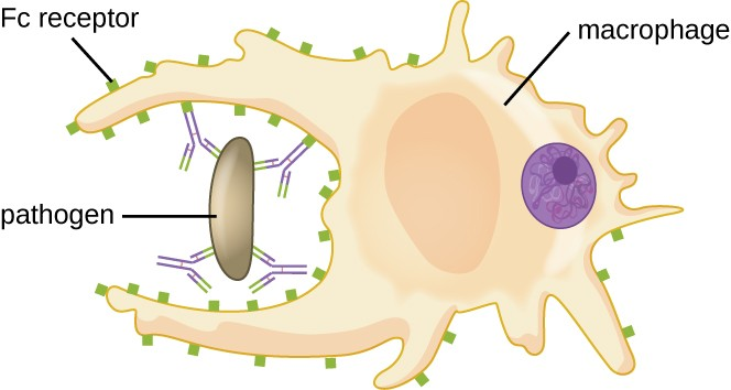 A macrophage with projections that are engulfing a pathogen with antibodies attached to it.