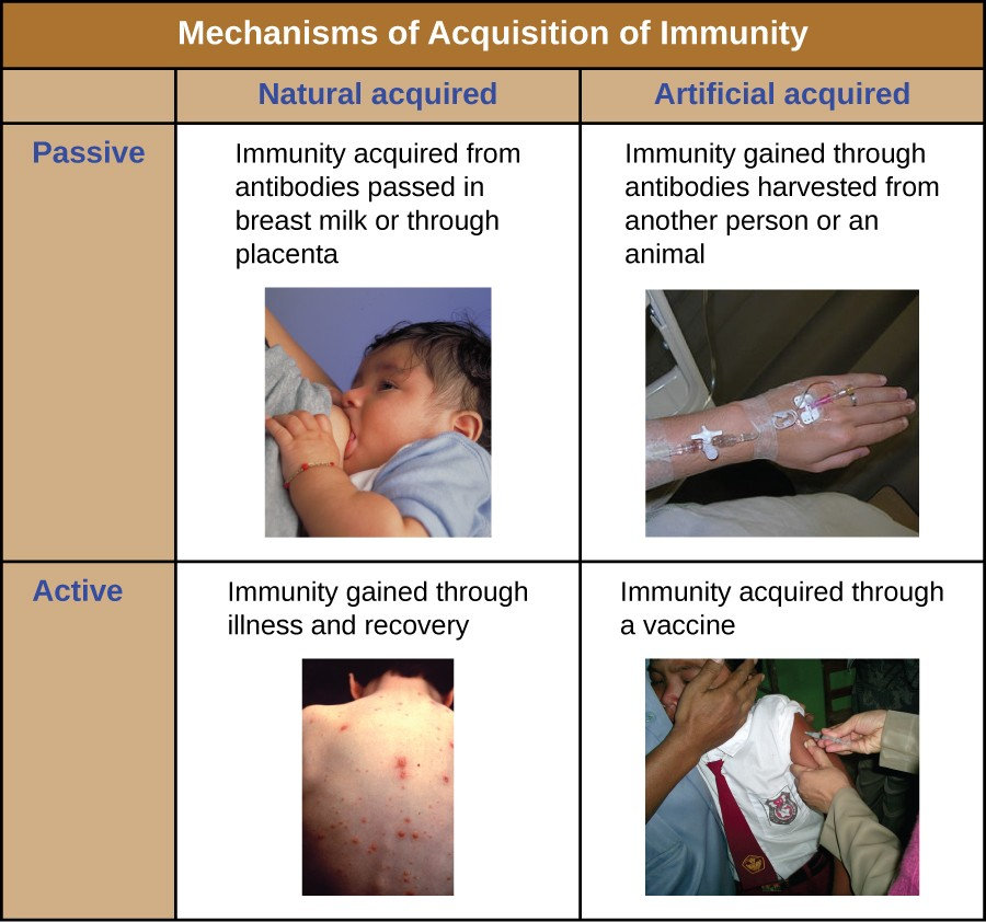 Table titled mechanism of Acquisition of Immunity. Passive and Natural: Immunity acquired from antibodies passed through breast milk or placenta. Passive and Artificial: Immunity gained through antibodies harvested from another animal. Active and Natural: Immunity Gained through illness and recovery. Active and Artificial: Immunity gained through a vaccine.