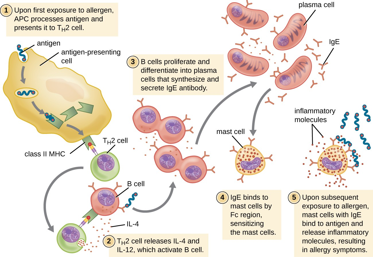 Drawing of Th3 cell response. 1: Upon first exposure to allergen, antigen presenting cell processes antigen and presents it to Th3 Cell. A large antigen presenting cell is shown engulfing an antigen which is attached to a Class II MHC inside the cell. This class II MHC is then placed on the surface with the antigen on the end of the MHC. The Th3 cell has a receptor that binds to the antigen on the MHC. 2: Th3 cell releases IL-2 and IL-4 which activates B cell. The Th3 cell has unbound from the Antigen presenting cell and binds to a B cell with the antigen on it's MHC and antibodies. The Th3 cell then releases small dots. 3: B cells proliferate and differentiate into plasma cells that synthesize and secrete IgE antibody. B cell is shown dividing. These cells tehn become plasma cells which are larger and are producing many IgE 4: IgE binds to mast cells by Fc region, sensitizing the mast cells. Mast cell is shown with IgE bound to it. 5: Upon subsequent exposure to allergen, mast cells with IgE bind to antigen and release inflammatory molecules, resulting in allergy symptoms. Antigen is shown bound to mast cell and the mast cell is releasing little dots labeled inflammatory molecules.