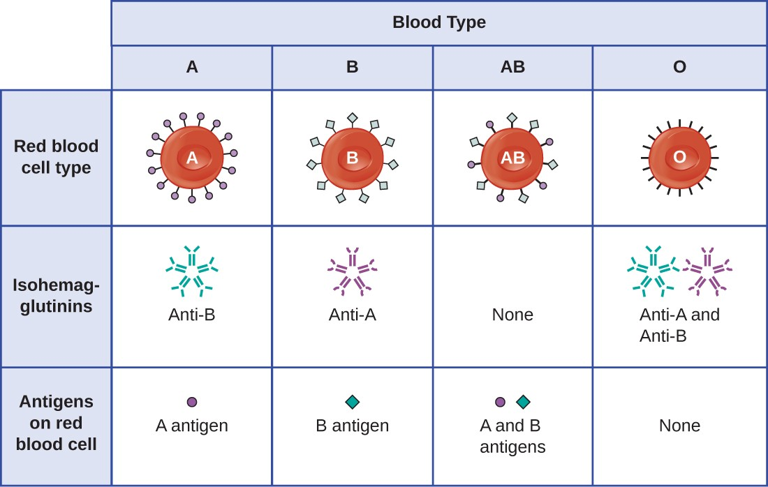 Table of Blood Types. Type A blood has red blood cells with A antigens as surface markers. It produces anti-B isohemagglutinins. Type B blood has red blood cells with B antigens as surface markers. It produces anti-A isohemagglutinins. Type AB blood has red blood cells with both A and B antigens as surface markers. It produces neither isohemagglutinins. Type O blood has red blood cells with neither A nor B antigens as surface markers. It produces both anti-A and anti-B isohemagglutinins.