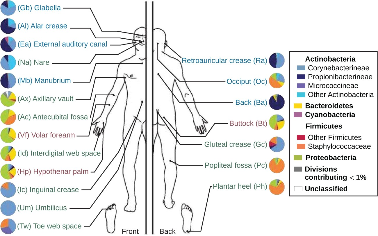 A diagram showing different regions of the body. Each region has a pie chart that shows which bacteria are most prevalent. The most common bacterium in each region: Glabella (corynebacterineae), Alar Crease (propionibacterineae), External auditory canal (propionibacterineae), Nare (other actinobacteria), manubrioum (propionibacterineae), Axillary vault (proteobacteria), antecubital fossa (proteobacteria), Volar forearm (proteobacteria), interdigital web space (proteobacteria), hypothenar palm (proteobacteria), inguinal crease (corynebacterineae), umbilicus (corynebacterineae), toe web space (corynebacterineae, , propionibacterineae, and staphylococcaceae), reticular crease (propionibacterineae), occiput (staphylococcaceae, back (propionibacterineae), buttock (proteobacteria), gluteal crease (corynebacterineae), popliteal fossa (staphylococcaceae), plantar heel (staphylococcaceae). Second part of the image shows that different subjects have different bacterial percentages and that these percentages change over time.