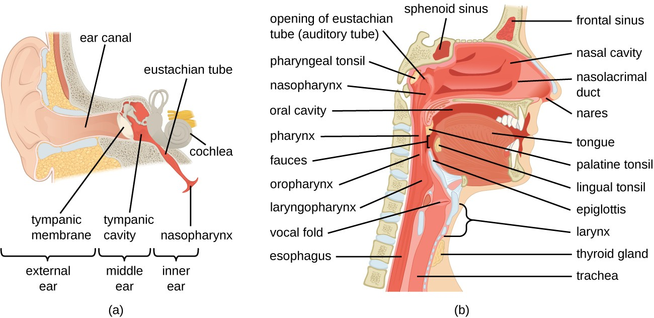 a) diagram of ear; a closeup shows the bones and membranes of the middle ear. The eardrum is a flat disk labeled tympanic membrane. Behind this is the tympanic cavity (middle ear) which contains the bones. A tube boing downward from the middle ear is labeled Eustachian tube (auditory tube). b) A diagram of a cross section of the head. Above the nose is a space in the bone labeled frontal sinus. The space in the nose is the nasal cavity and a duct in the nose is the nasolacrimal duct. A space in the bone behind the nose is the sphenoid sinus. At the back of the nose is the opening of the Eustachian tube (auditory tube). Behind that is the pharyngeal tonsil. Below that is a tube labeled nasopharynx which becomes the pharynx which because the oropharynx (behind the mouth) which becomes the laryngopharynx, which becomes the esophagus. Vocal folds are found just beyond the laryngopharynx in the larynx a tube which becomes the trachea. The epiglottis is a flap the determines if material in the pharynx travels to the esophagus or the trachea because the mouth also leads to the pharynx. The mouth contains the tongue. Underneath the tongue is the lingual tonsil and at the back of the mouth is the palatine tonsil. At the very back of the mouth is the fauces. In front of the trachea is the thyroid gland.
