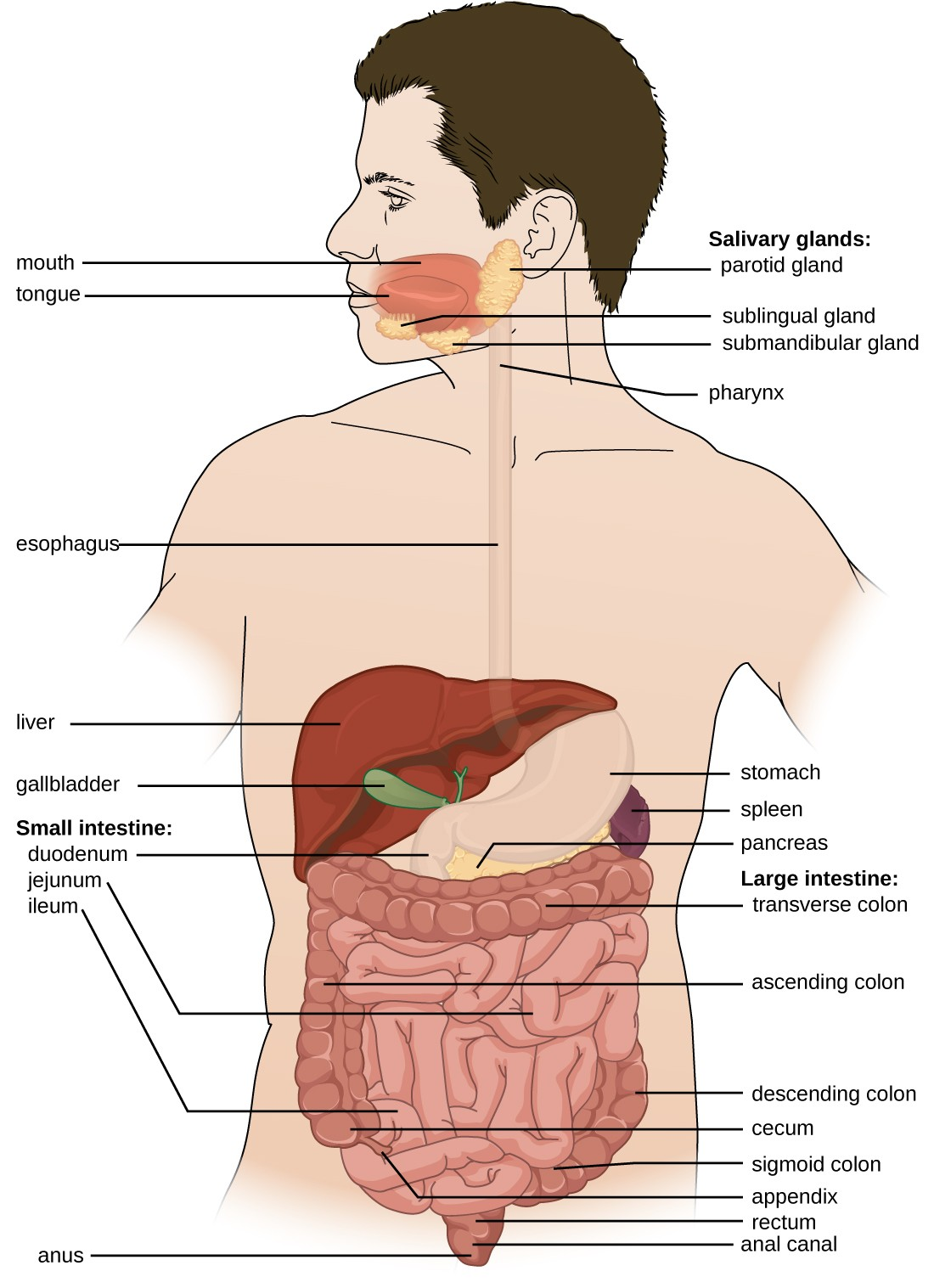 Anatomy and normal microbiota of the digestive system microbiology diagram of the digestive system the system begins with the mouth and tongue there ccuart Images