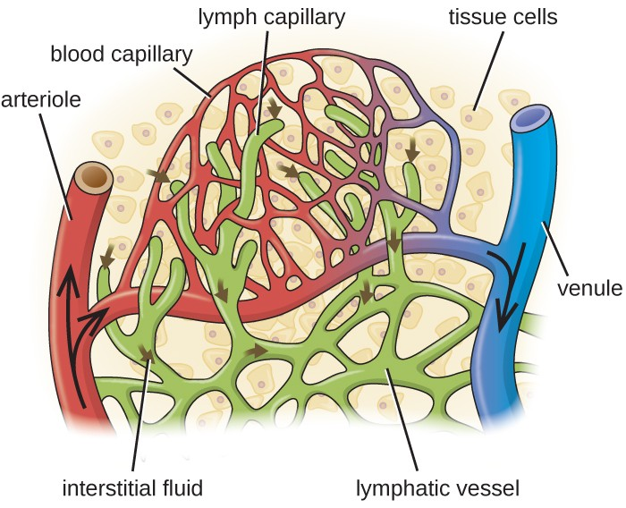 the circulatory system and the lymphatic system essay The human circulatory system functions to transport blood and oxygen from the lungs to the various tissues of the body the heart pumps the blood throughout the body the lymphatic system is an extension of the human circulatory system that includes cell-mediated and antibody-mediated immune systems.