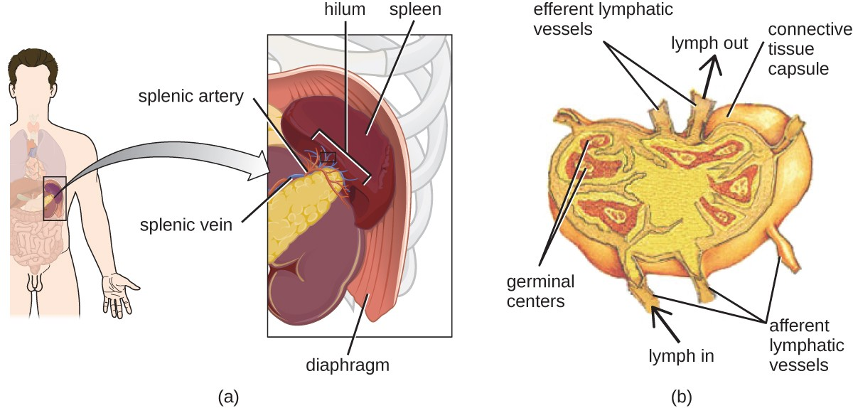 Anatomy Of The Circulatory And Lymphatic Systems Microbiology