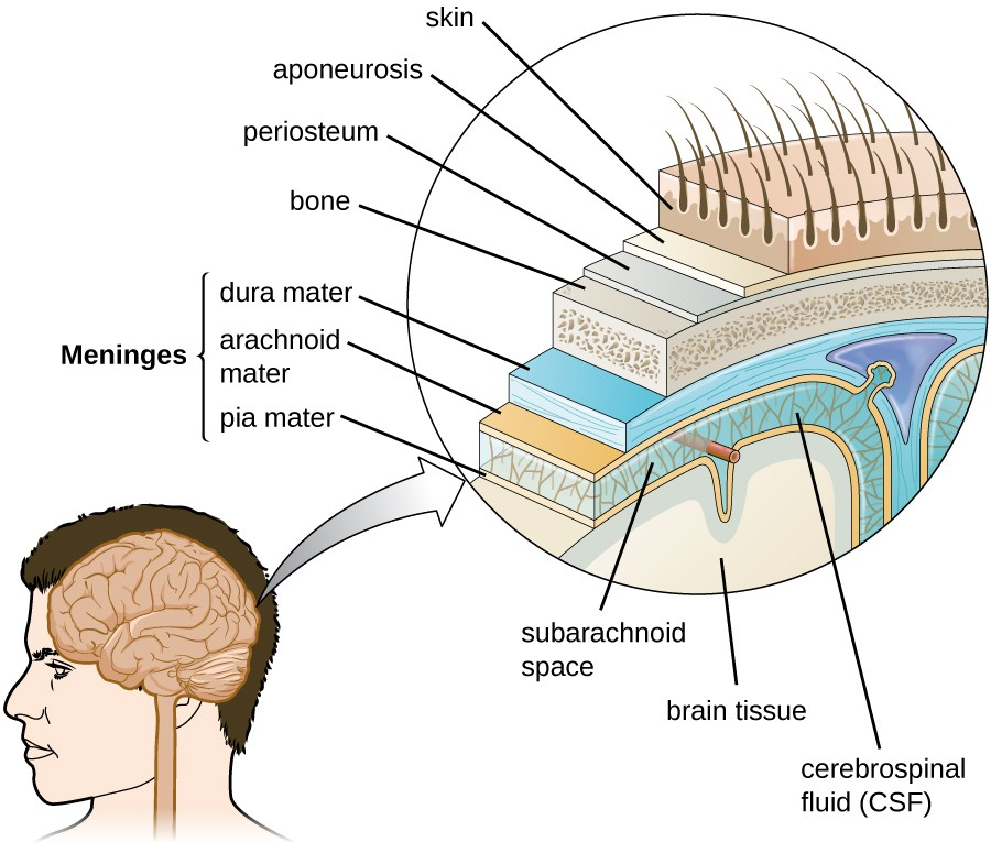 Anatomy of the Nervous System | Microbiology