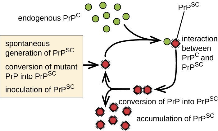 Endogenous PrPC interacts with mutant version PrPSC. This converts PrPC inot PrPSC. This leads to an accumulation of PRPSC. Each PRPSC can convert more PRPC. The options are: spontaneous generation of PRPSC, conversation of mutant PRP into PRPSC, and inoculation of PRPSC.