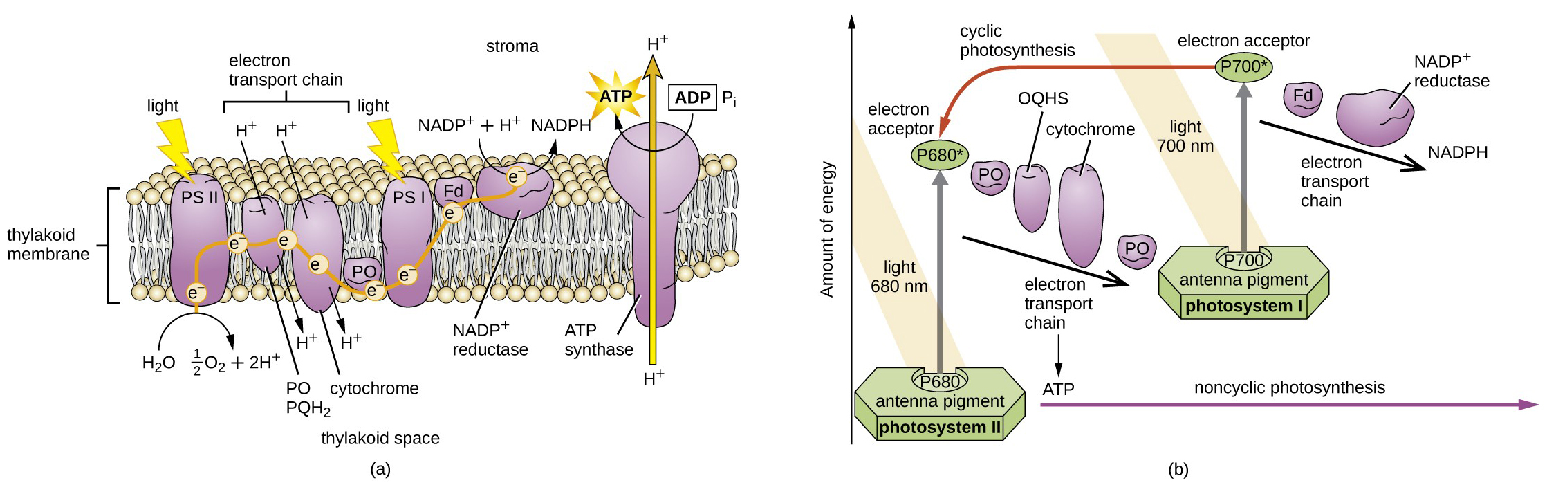 Photosynthesis microbiology a drawing of a thylakoid membrane with proteins light strikes ps ii which breaks pooptronica Choice Image