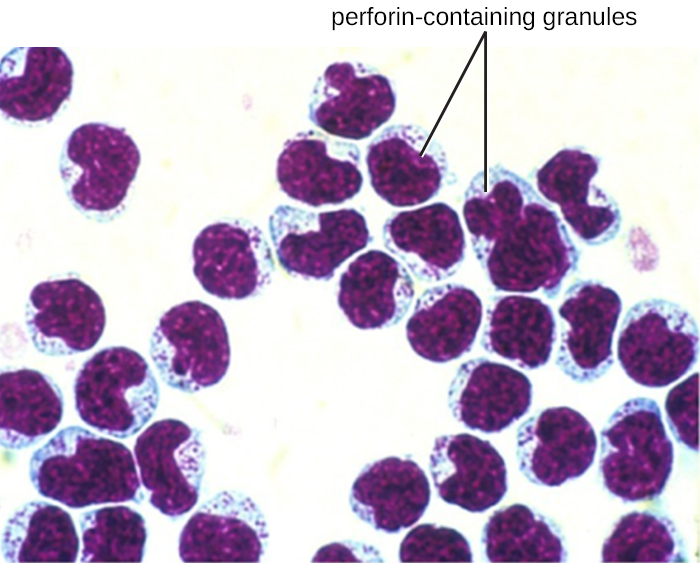 Many red blood cells with a single larger cell. The larger cell is pink with a purple region that fills nearly the entire cell. The purple region is labeled perforin-containing granules.