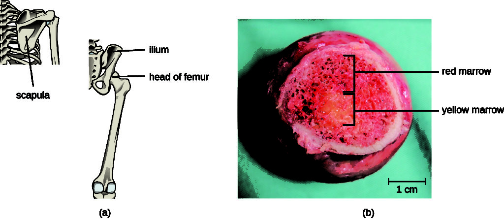 a) A drawing of a femur; a long bone with a round head. B) A cross section of the head of the femur.