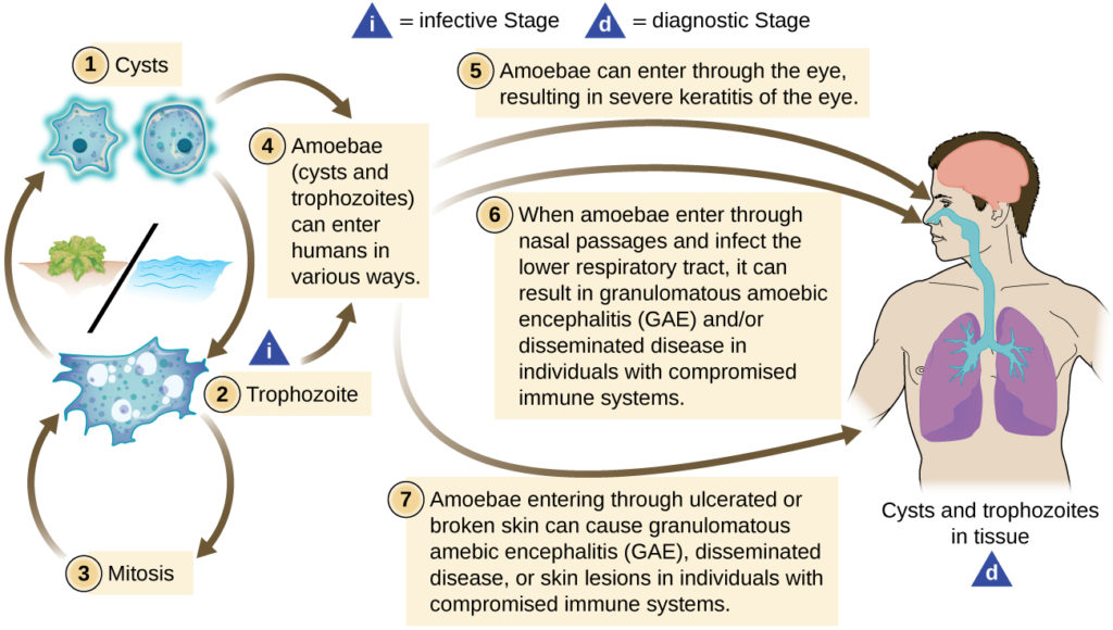 Protozoan and Helminthic Infections of the Skin and Eyes | Microbiology