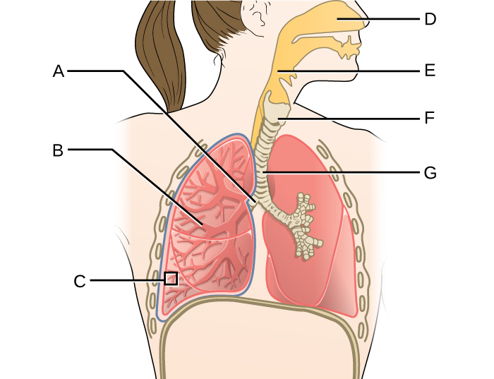 Diagram of respiratory system. D is the space in the nose this leads to E (a tube behind the mouth). This leads to G (a cartilage ringed tube that leads to the lungs). F is a larger region just above G. G branches into 2 tubes labeled A, these branch and branch again to become B. The very end of B is C.