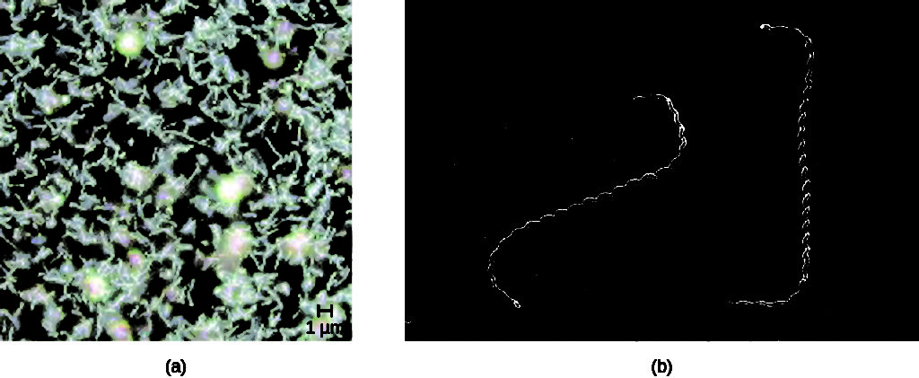 (a) Micrograph of many spiral shaped cells. (b) Higher magnification showing spiral shape more clearly.