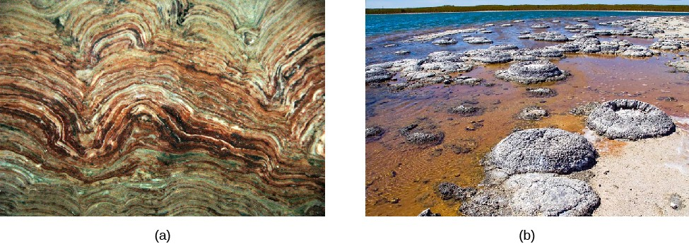 Stromatolites. At left: a cross section of a fossilized stromatolite, showing a multitude of sedimentary layers. At right, the grey domes of currently living stromatolite colonies.