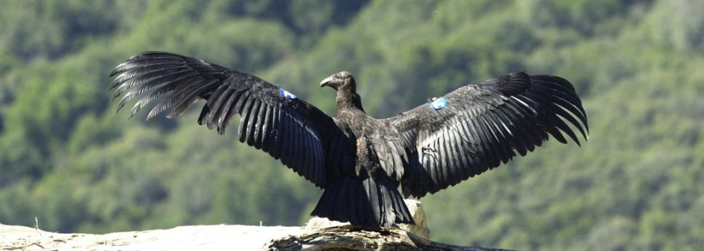 A California Condor Perched On A Cliffs Edge Its Wings Are Extended In Preparation For