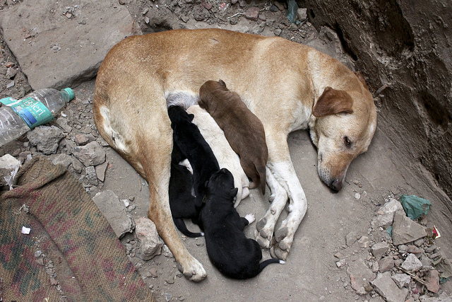 a mother dog nursing approximately five puppies. three are black, one is brown, and the other is pale yellow. The mother is a light brown.