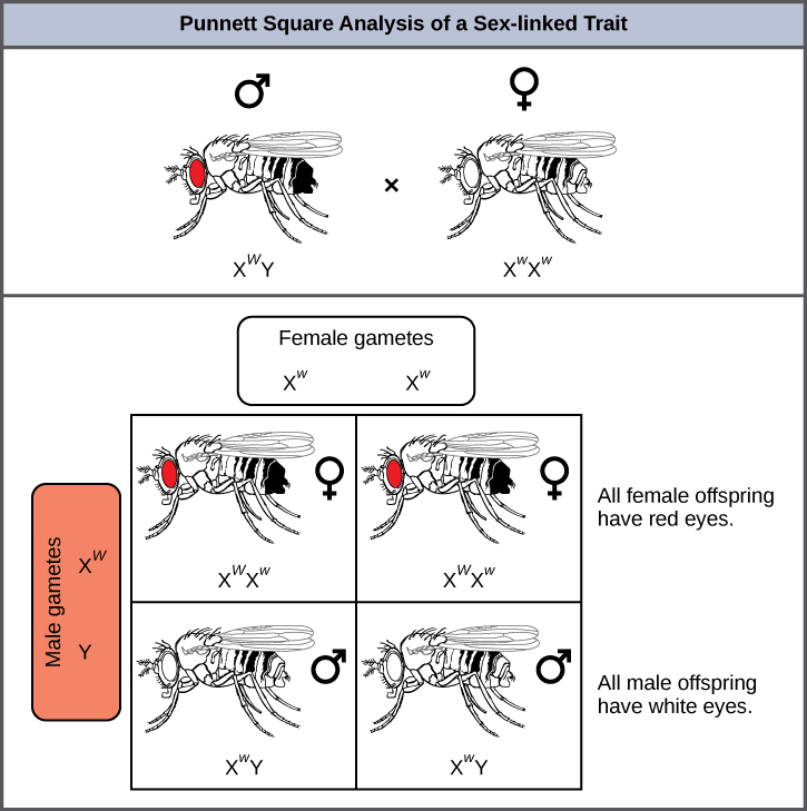 This illustration shows a Punnett square analysis of fruit fly eye color,  which is a