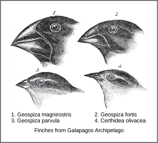 Illustration shows four different species of finch from the Galápagos Islands. Beak shape ranges from broad and thick to narrow and thin.