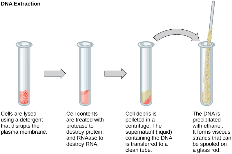 Reading basic techniques to manipulate genetic material biology this illustration shows the four main steps of dna extraction in the first step ccuart Gallery