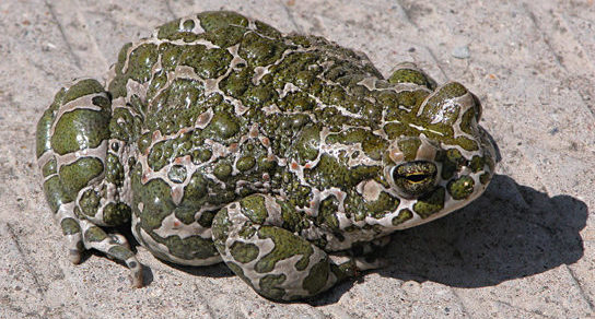 A photo shows a light-colored toad covered in bright green spots.