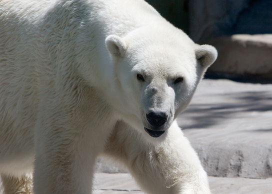 A photos shows a white, furry polar bear.