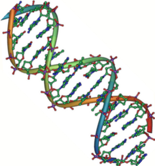 The molecular structure of DNA is shown. DNA consists of two antiparallel strands twisted in a double helix. The phosphate backbone is on the outside, and the nitrogenous bases face one another on the inside.