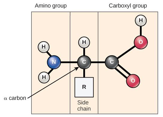 amino acids biology for majors i