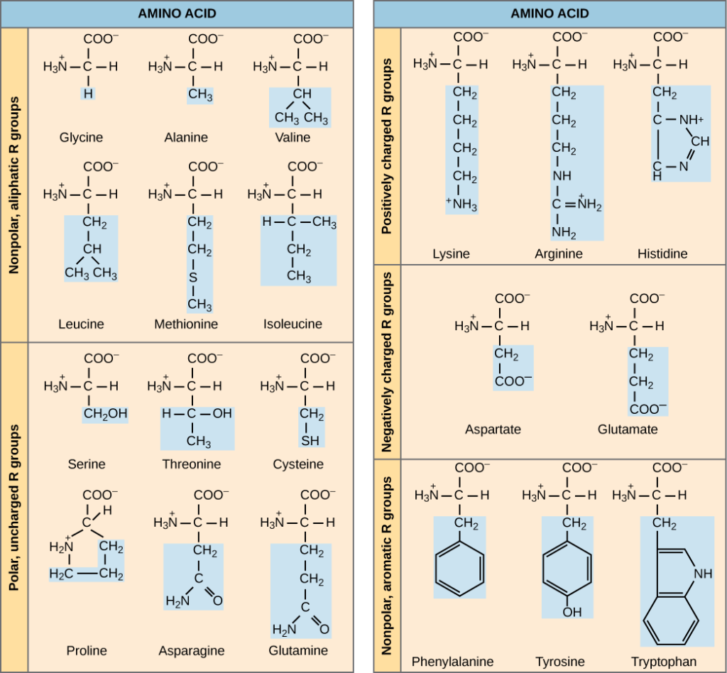 Amino acids biology for majors i the molecular structures of the twenty amino acids commonly found in proteins are given these altavistaventures Images