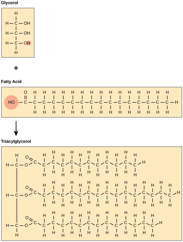 The structures of glycerol, a fatty acid, and a triacylglycerol are shown. Glycerol is a chain of three carbons, with a hydroxyl (OH) group attached to each carbon. A fatty acid has an acetyl (COOH) group attached to a long carbon chain. In triacylglycerol, a fatty acid is attached to each of glycerol's three hydroxyl groups via the carboxyl group. A water molecule is lost in the reaction so the structure of the linkage is C-O-C, with an oxygen double bonded to the second carbon.