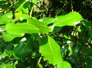 The photo shows leaves on a plant; the leaves appear thick, shiny, and waxy.