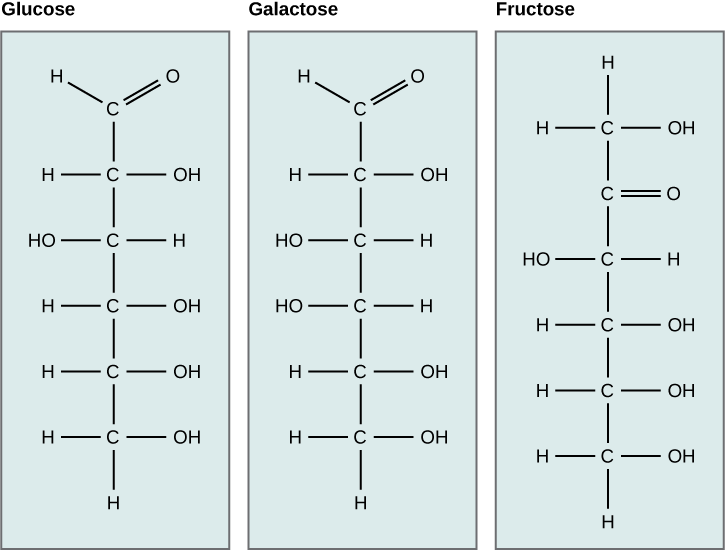 The molecular structures of the linear forms of glucose, galactose, and fructose are shown. Glucose and galactose are both aldoses with a carbonyl group (carbon double-bonded to oxygen) at one end of the molecule. A hydroxyl (OH) group is attached to each of the other residues. In glucose, the hydroxyl group attached to the second carbon is on the left side of the molecular structure and all other hydroxyl groups are on the right. In galactose, the hydroxyl groups attached to the third and fourth carbons are on the left, and the hydroxyl groups attached to the second, fifth and sixth carbon are on the right. Frucose is a ketose with C doubled bonded to O at the second carbon. All other carbons have hydroxyl groups associated with them. The hydroxyl group associated with the third carbon is on the left, and all the other hydroxyl groups are on the right.