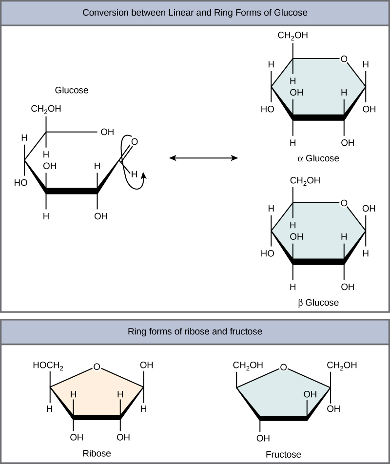 the conversion of glucose between linear and ring forms is shown the glucose ring has