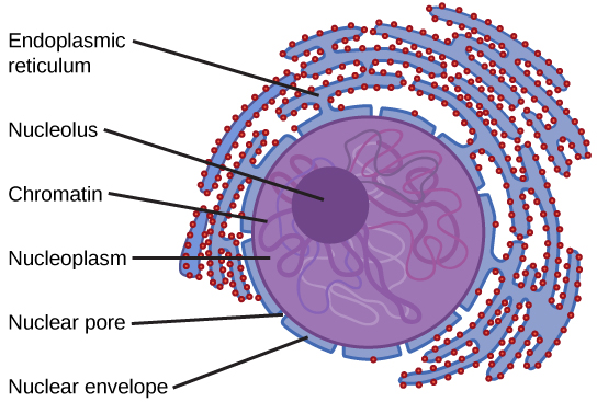 The nucleus is bordered by the endoplasmic reticulum. The edge of the nucleus itself is the nuclear envelope. Small openings in the nuclear envelope are nuclear pores. Inside the cell is a gel-like substance called nucleoplasm. Some long, thin, squiggly material called chromatin is floating in the nucleoplasm. In the center of the nucleus is a concentrated mass called the nucleolus.