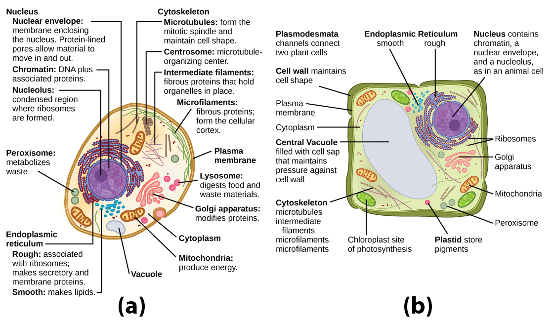 Part a: This illustration shows a typical eukaryotic animal cell, which is egg shaped. The fluid inside the cell is called the cytoplasm, and the cell is surrounded by a cell membrane. The nucleus takes up about one-half the width of the cell. Inside the nucleus is the chromatin, which is composed of DNA and associated proteins. A region of the chromatin is condensed into the nucleolus, a structure where ribosomes are synthesized. The nucleus is encased in a nuclear envelope, which is perforated by protein-lined pores that allow entry of material into the nucleus. The nucleus is surrounded by the rough and smooth endoplasmic reticulum, or ER. The smooth ER is the site of lipid synthesis. The rough ER has embedded ribosomes that give it a bumpy appearance. It synthesizes membrane and secretory proteins. In addition to the ER, many other organelles float inside the cytoplasm. These include the Golgi apparatus, which modifies proteins and lipids synthesized in the ER. The Golgi apparatus is made of layers of flat membranes. Mitochondria, which produce food for the cell, have an outer membrane and a highly folded inner membrane. Other, smaller organelles include peroxisomes that metabolize waste, lysosomes that digest food, and vacuoles. Ribosomes, responsible for protein synthesis, also float freely in the cytoplasm and are depicted as small dots. The last cellular component shown is the cytoskeleton, which has four different types of components: microfilaments, intermediate filaments, microtubules, and centrosomes. Microfilaments are fibrous proteins that line the cell membrane and make up the cellular cortex. Intermediate filaments are fibrous proteins that hold organelles in place. Microtubules form the mitotic spindle and maintain cell shape. Centrosomes are made of two tubular structures at right angles to one another. They form the microtubule-organizing center. Part b: This illustration depicts a typical eukaryotic plant cell. The nucleus of a plant cell contains chromatin and a nucleolus, the same as an animal cell. Other structures that the plant cell has in common with the animal cell include rough and smooth endoplasmic reticulum, the Golgi apparatus, mitochondria, peroxisomes, and ribosomes. The fluid inside the plant cell is called the cytoplasm, just as it is in an animal cell. The plant cell has three of the four cytoskeletal components found in animal cells: microtubules, intermediate filaments, and microfilaments. Plant cells do not have centrosomes. Plant cells have four structures not found in animals cells: chloroplasts, plastids, a central vacuole, and a cell wall. Chloroplasts are responsible for photosynthesis; they have an outer membrane, an inner membrane, and stack of membranes inside the inner membrane. The central vacuole is a very large, fluid-filled structure that maintains pressure against the cell wall. Plastids store pigments. The cell wall is outside the cell membrane.