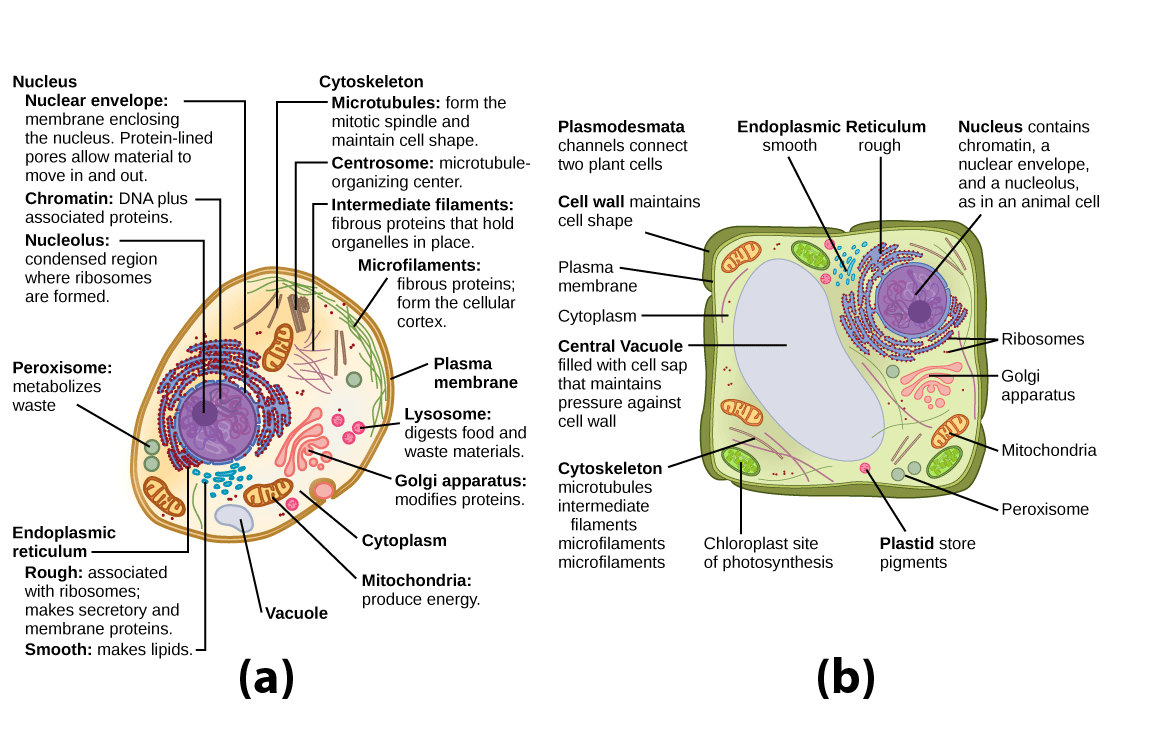 Organelles biology for majors i part a this illustration shows a typical eukaryotic animal cell which is egg shaped ccuart Images