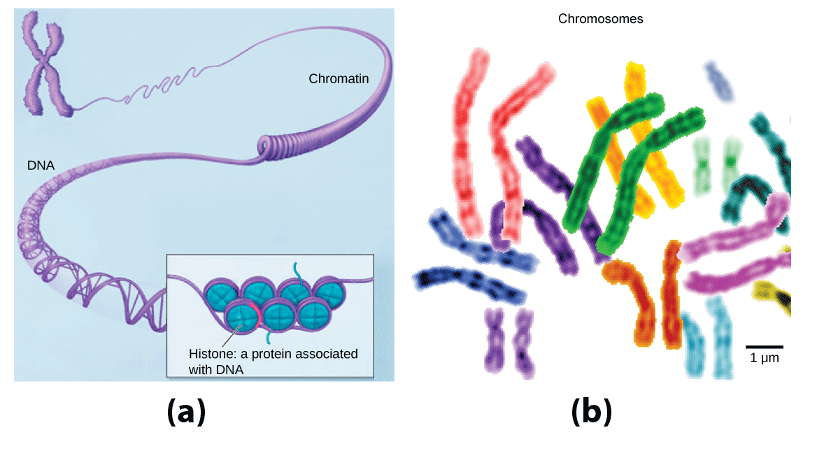 Part a: In this illustration, DNA tightly coiled into two thick cylinders is shown in the upper right. A close-up shows how the DNA is coiled around proteins called histones. Part b: This image shows paired chromosomes.