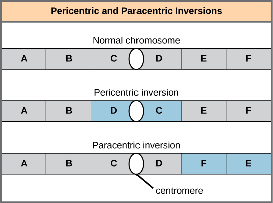 Illustration shows pericentric and paracentric inversions. In this example, the order of genes in the normal chromosome is ABCDEF, with the centromere between genes C and D. In the pericentric inversion the order is ABDCEF. In the paracentric inversion example, the resulting gene order is ABCDFE.
