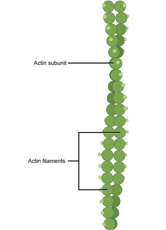 This illustration shows two actin filaments wound together. Each actin filament is composed of many actin subunits connected together to form a chain.
