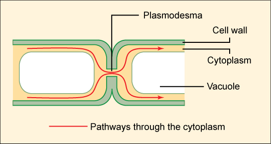 This illustration shows two plant cells side-by-side. A gap in the cell wall, a plasmodesma, allows fluid and small molecules to pass from the cytoplasm of one cell to the cytoplasm of the other.