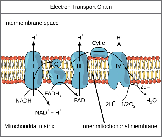 Electron transport chain biology for majors i this illustration shows the electron transport chain embedded in the inner mitochondrial membrane the electron ccuart Choice Image