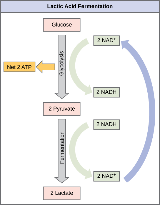 This illustration shows that during glycolysis, glucose is broken down into two pyruvate molecules and, in the process, two NADH are formed from NAD^{+}. During lactic acid fermentation, the two pyruvate molecules are converted into lactate, and NADH is recycled back into NAD^{+}.
