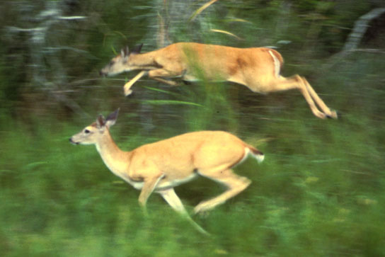 A photo shows deer running through tall grass beside a forest.