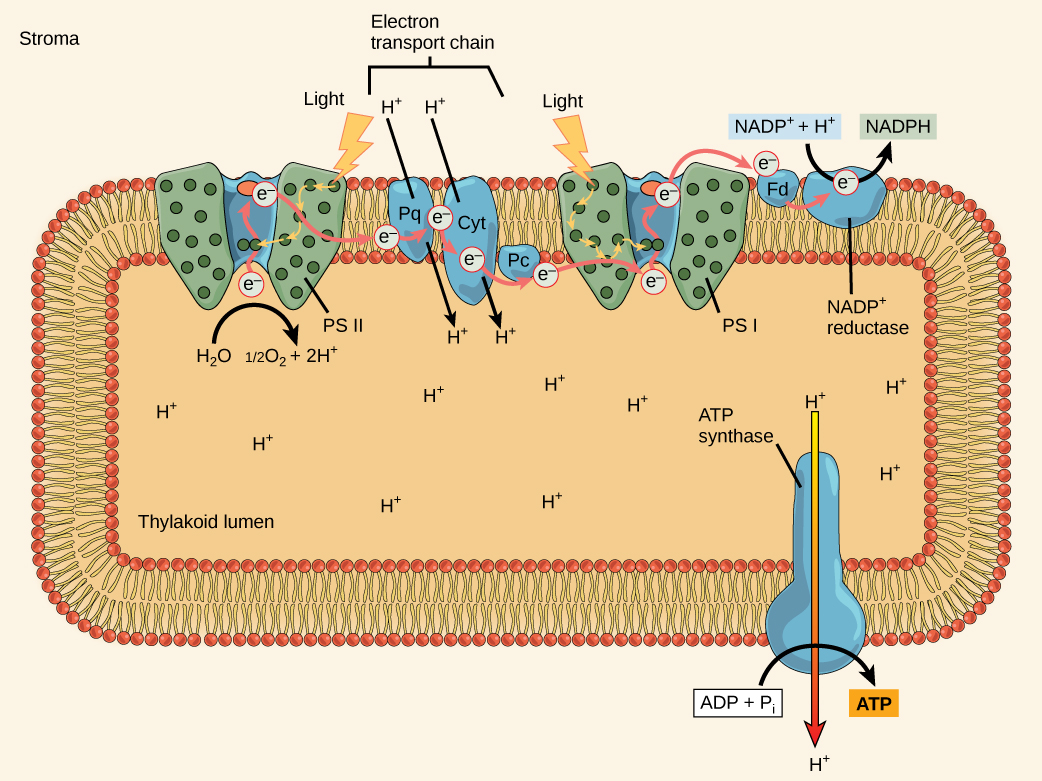 This illustration shows the components involved in the light reactions, which are all embedded in the thylakoid membrane. Photosystem II uses light energy to strip electrons from water, producing half an oxygen molecule and two protons in the process. The excited electron is then passed through the chloroplast electron transport chain to photosystem I. Photosystem I passes the electron to NADP+ reductase, which uses it to convert NADP+ and a proton to NADPH. As the electron transport chain moves electrons, it pumps protons into the thylakoid lumen. The splitting of water also adds electrons to the lumen, and the reduction of NADPH removes protons from the stroma. The net result is a low pH inside the thylakoid lumen, and a high pH outside, in the stroma. ATP synthase embedded the thylakoid membrane moves protons down their electrochemical gradient, from the lumen to the stroma, and uses the energy from this gradient to make ATP.
